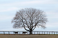 Montgomery, New York  - Standardbred horses graze near a tree at Cameo Hills Farm on Jan. 8, 2011.