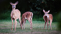 """Vigilant Doe with Two Fawns. The Deer have not seen me for the last 3 months while I was away on the Semester at Sea MV Explorer. This doe stared at me for almost 15 minutes -- probably thinking """"who is this stranger in my backyard"""". Backyard Summer Nature in New Jersey. Image taken with a Nikon D4 camera and 600 mm f/4 VR lens (ISO 1600, 600 mm, f/4, 1/60 sec)."""