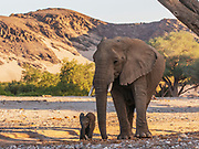A small desert elephant calf (Loxodonta africana cyclotis) walking with its mother, Skeleton Coast, Namibia