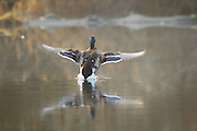 A mallard duck (Anas Platyrhynchos) drake lands on Scriber Lake in Lynnwood, Washington on a foggy winter morning.