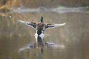 A mallard duck (Anas Platyrhynchos) drake lands on Scriber Lake in Lynnwood, Washington on a foggy winter morning.