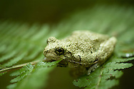 Gray tree frogs (Hyla versicolor) are heard more often than they are seen. They will often call before rain and are rarely seen outside of their breeding season during the months of may to august. They possess amazing cryptic coloration allowing them to pass unoticed to most passerbys.