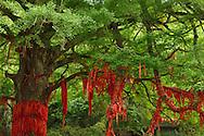 Ginkgo tree or Maidenhair tree, Ginkgo biloba, Tangjiahe National Nature Reserve, NNR, Qingchuan County, Sichuan province, China