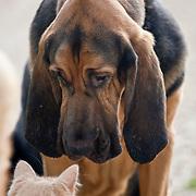 Gentle Gabriel Bloodhound