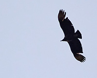 Turkey Vulture (Cathartes aura). Image taken with a Nikon 1 V3 camera and 70-300 mm VR lens.