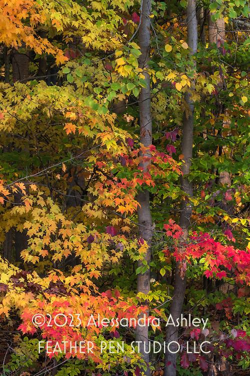 Peak autumn foliage along wooded trail, central Ohio.