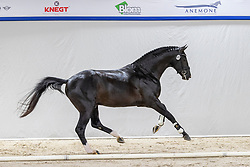 533, Nacho<br /> KWPN Hengstenkeuring 2021<br /> © Hippo Foto - Dirk Caremans<br />  04/02/2021