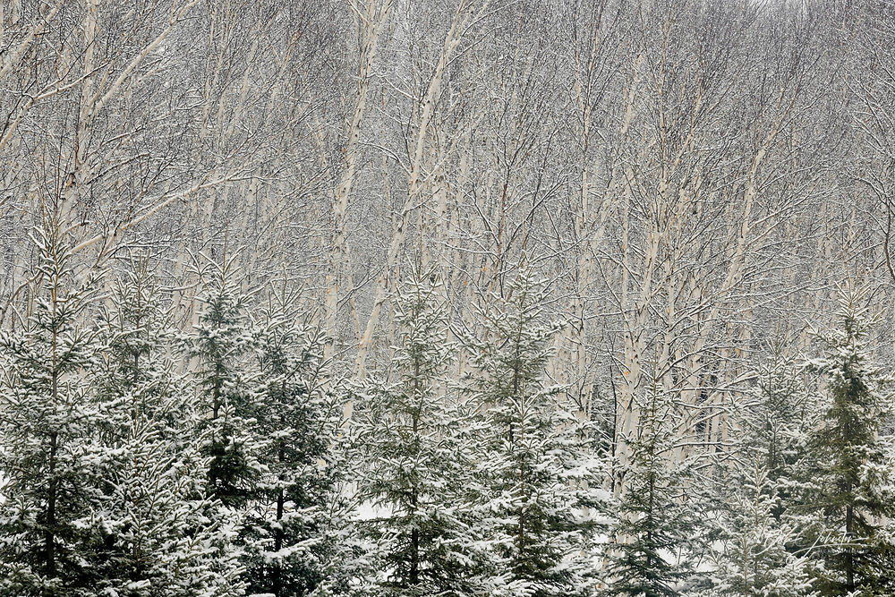 Birch grove with spruce trees in early winter, Greater Sudbury (Lively), Ontario, Canada