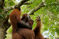 "Bornean Orangutan - ""wurmbii"" subspecies<br />(Pongo pygmaeus wurmbii)<br /><br />Adult male ""Codet""<br /><br />Cabang Panti Research Station<br />Gunung Palung National Park<br />West Kalimantan, Indonesia<br />Borneo Island"