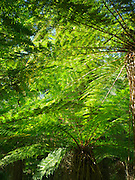 Lush ferns, trees, moss and other plant life grow along the Haast River and Highway 6, at the stop for Roaring Bill Falls, West Coast, New Zealand.