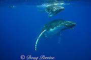 snorkeler with humpback whale, Megaptera novaeangliae, and calf, Vava'u, Kingdom of Tonga, South Pacific