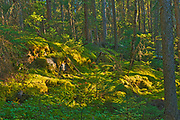 Black spruce trees and moss in the Boreal forest <br />Pisew Falls Provincial Park<br />Manitoba<br />Canada