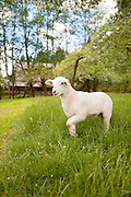 Leaping Lamb Farm Stay in Alsea, Oregon
