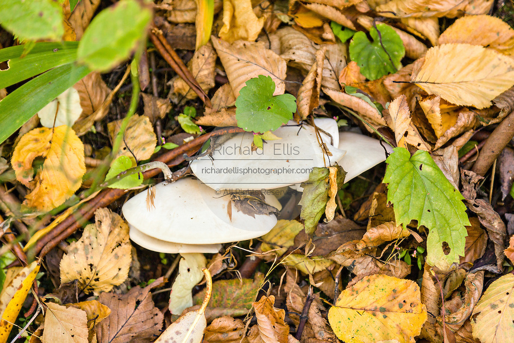 Wild mushrooms growing in autumn foliage along the Blue Ridge National Parkway outside Asheville, North Carolina.