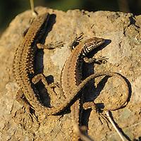 Common Wall Lizard (Podarcis muralis). Shebeniku-Jabllanica National Park, Albania June 2009