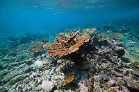 Stand of Elkhorn Coral in Belize