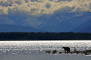Wide angle photo of an ALaskan Brown bear at the end of a point