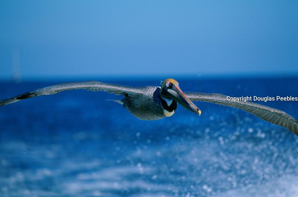 Pelican, Baja California, Mexico<br />