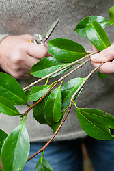 Taking leaf bud cuttings from a camellia. Showing new and old wood