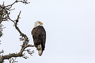 An adult Bald Eagle (Haliaeetus leucocephalus) watching Ducks from a tree branch near Boundary Bay in Delta, British Columbia, Canada.