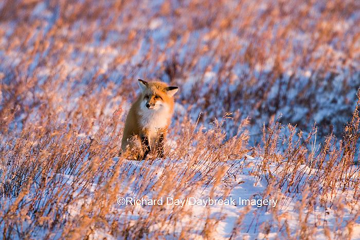 01871-02817 Red Fox (Vulpes vulpes) in winter Churchill Wildlife Management Area Churchill, MB