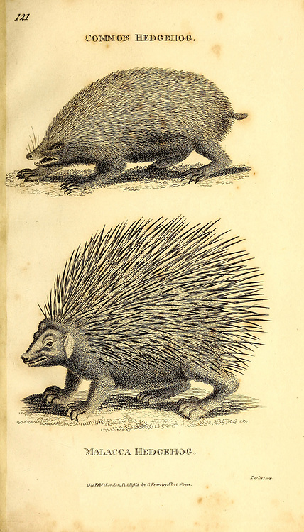 Hedgehog from General zoology, or, Systematic natural history Part I, by Shaw, George, 1751-1813; Stephens, James Francis, 1792-1853; Heath, Charles, 1785-1848, engraver; Griffith, Mrs., engraver; Chappelow. Copperplate Printed in London in 1800. Probably the artists never saw a live specimen