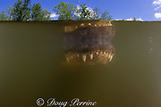 snout of American alligator ( Alligator mississippiensis ) is reflected on undersurface of water at Big Cypress National Preserve, Florida, U.S.A. ( North America - freshwater )