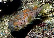Danmarks akvarium 2005.  Doidontidae pinnsvinfisk porcupinefishes