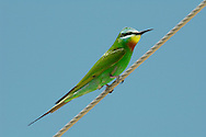 Blue-cheeked Bee-eater - Merops superciliosus