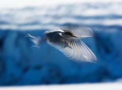 Arctic tern (Sterna paradisaea) in Svalbard, Norway