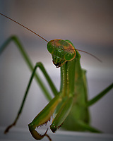 Praying Mantis. Image taken with a Fuji X-T2 camera and 80 mm f/2.8 macro lens (ISO 200, 80 mm, f/11, 1/120 sec).