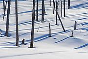 Tree  and shadows on snow in wetland<br />Atikokan<br />Ontario<br />Canada