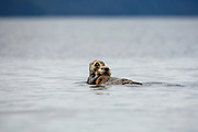 Mother otter holding pup