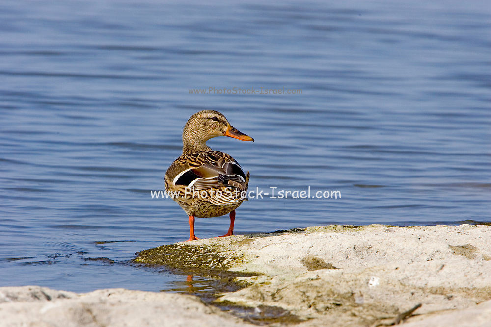 Mallard (Anas platyrhynchos) female near water. Photographed in Israel, in February
