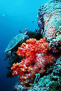 green sea turtle, Chelonia mydas, Endangered Species, snoozes, perched in a black coral tree on the drop-off, soft coral, Dendronephthya sp., in foreground, Sipadan, Malaysia ( Celebes Sea / Western Pacific Ocean )