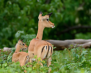 Impala ewe and her fawn looking and listening intently in the same direction, Chobe National Park, ©  David A. Ponton