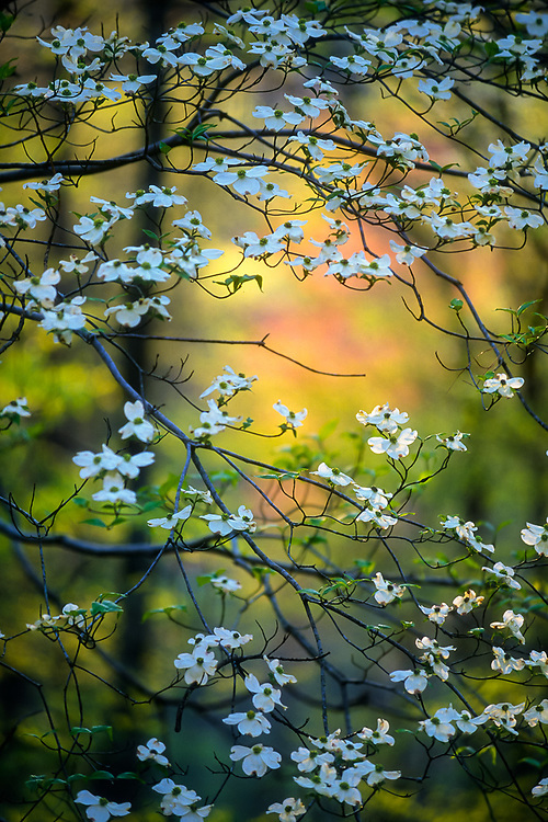 Dogwood blossoms, Great Smoky Mountains National Park, Tennessee, USA