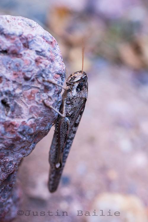 Grasshopper in Aravaipa Canyon Preserve, AZ.