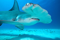 `A Great Hammerhead Shark uses its Nictating Membrane to protect its eye.<br /> <br /> Shot in Bahamas