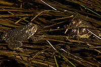 Mating toads with an observer.  Wyman Meadow at Walden Pond.