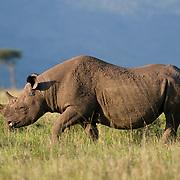 White Rhinoceros in Masai Mara National Reserve, Kenya, Africa.