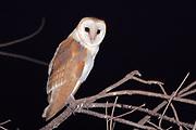 Barn Owl (Tyto alba) Israel, Spring June 2007
