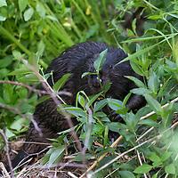 Wild Beavers River Tay