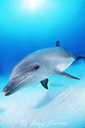 Spot, a wild, lone, sociable bottlenose dolphin, Tursiops truncatus, Cayman Brac, Cayman Islands ( Caribbean Sea )