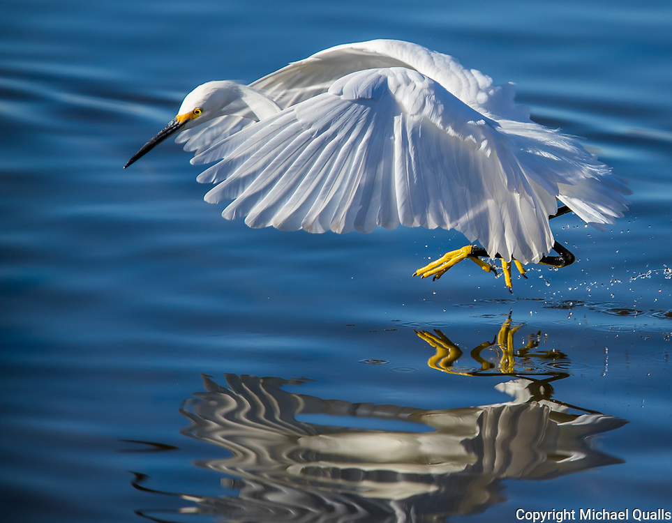 A Snowy Egret (Egretta thula) Mid-Leap in Search of a Fish