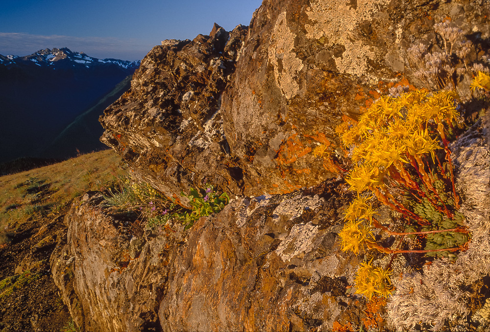 Stonecrop wildflowers, Greywolf Ridge in background, view from Blue Mountain, summer, Olympic National Park, Washington, USA