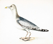 The European herring gull (Larus argentatus) is a large gull, up to 66 cm (26 in) long. One of the best-known of all gulls along the shores of Western Europe, it was once abundant.[2] It breeds across Northern Europe, Western Europe, Central Europe, Eastern Europe, Scandinavia, and the Baltic states. Some European herring gulls, especially those resident in colder areas, migrate further south in winter, but many are permanent residents, e.g. in Ireland, Britain, Iceland, or on the North Sea shores. They have a varied diet, including fish, crustaceans, and dead animals, as well as some plants. While herring gull numbers appear to have been harmed in recent years, possibly by fish population declines and competition, they have proved able to survive in human-adapted areas and can often be seen in towns acting as scavengers. 18th century watercolor painting by Elizabeth Gwillim. Lady Elizabeth Symonds Gwillim (21 April 1763 – 21 December 1807) was an artist married to Sir Henry Gwillim, Puisne Judge at the Madras high court until 1808. Lady Gwillim painted a series of about 200 watercolours of Indian birds. Produced about 20 years before John James Audubon, her work has been acclaimed for its accuracy and natural postures as they were drawn from observations of the birds in life. She also painted fishes and flowers. McGill University Library and Archives