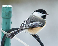 Black-capped Chickadee (Poecile atricapillus). Image taken with a Leica SL2 camera and Sigma 100-400 mm lens.