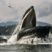 Humpback whales (Megaptera novaeangliae) cooperative feeding using a bubble net, I You Seen Cove, Chatham Strait, Southeast Alaska, USA.