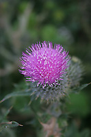 Pink thistle flower Inis Mor Aran Islands County Galway Ireland